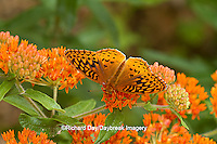 03322-01712 Great Spangled Fritillary (Speyeria cybele) on Butterfly Milkweek (Asclepias tuberosa) Reynolds Co. MO