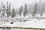 Grizzly bear during spring blizzard. Yellowstone National Park, Wyoming.