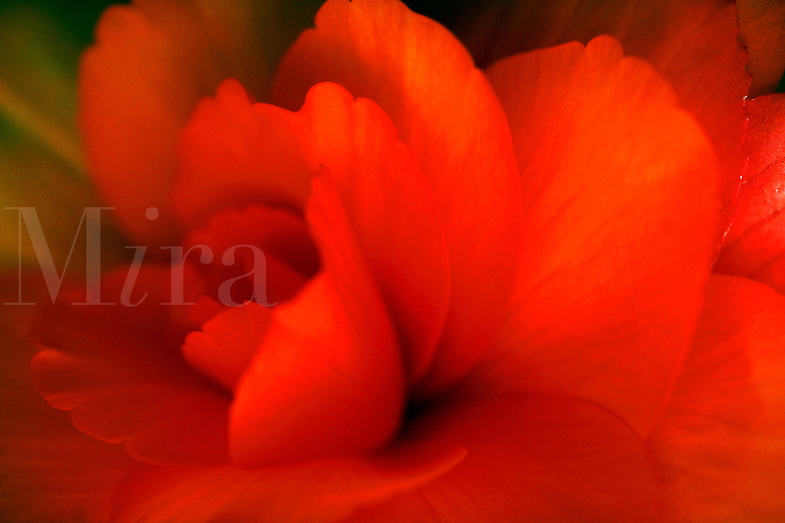 Detail of orange begonia