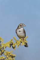 Lark Sparrow (Chondestes grammacus), adult on blooming Blackbrush Acacia (Acacia rigidula), Starr County, Rio Grande Valley, Texas, USA