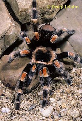 SI21-019c  Red Legged Tarantula, Brachypelma smithi