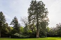 France, Indre-et-Loire (37), Chenonceaux, château et jardins de Chenonceau, le jardin vert et séquoia toujours vers