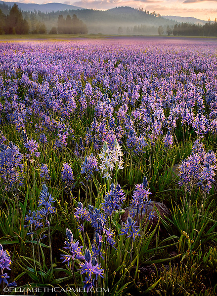 Camas Lillies in Bloom
