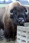 RIVERHEAD-JANUARY 2, 2006: An adult feeding among a herd of North American Bison at the North Quarter Farm in Riverhead on Monday January 2, 2006. (Newsday Photo / Jim Peppler).