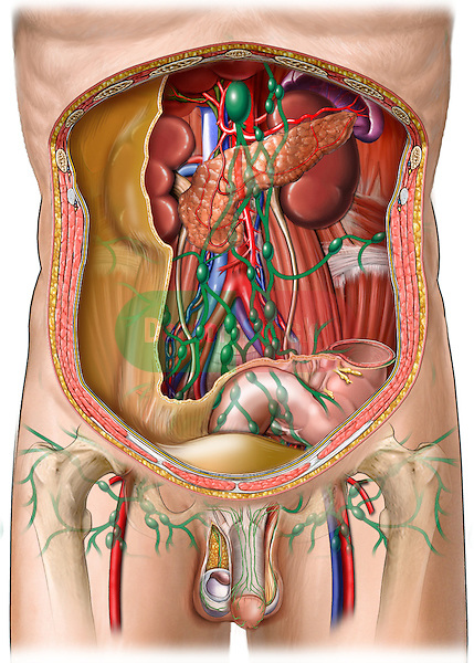 Lymph Vessels and Nodes of Posterior Abdominal Wall and Penis: Cut-away view of the of the back wall of the peritoneal (abdominal) cavity on a male figure. Also includes the internal anatomy of the sexual organs and the lymph system that communicates between them and the other organs shown.