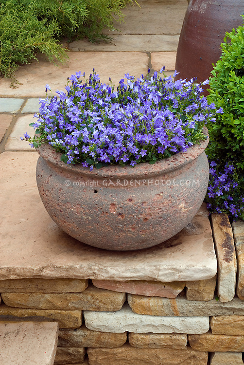 Campanula in rustic pot on stone patio, and also planted in ground