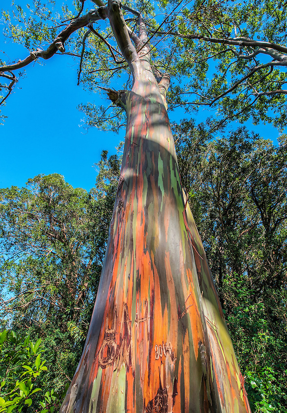 Rainbow eucalyptus tree found in a grove of rainbow eucalyptus trees located near the Mile 7 marker on the Hana Highway, Maui. Rainbow eucalyptus trees were imported to Hawaii from Australia.