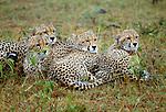 Cheetah littermates huddle in the rain, Maasai Mara National Reserve, Kenya
