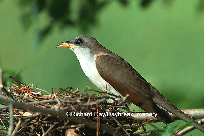 01099-003.11 Yellow-billed cuckoo (Coccyzus americanus) adult at nest, IL