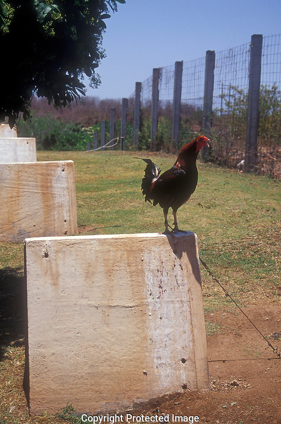 Crowing roster being raised at a Mexican cockfighting farm in El Quelite, Sinaloa, Mexico