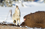 A coyote celebrates his good fortune, a bison carcass, by howling, in Yellowstone National Park, Wyoming.  Photo by Gus Curtis.