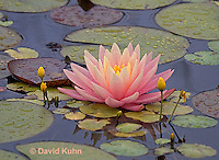 0725-07nn  Full Bloom Water Lilies - Nymphaea © David Kuhn/Dwight Kuhn Photography