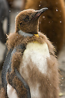 It's snowing on a young 'Okum' that is shedding its baby fur at Gold Harbor, South Georgia Island, November 2007