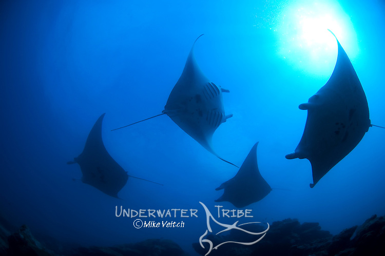 Manta rays in silhouette, Manta birostris, Valley of the Rays, Goofnuw Channel, Yap, Federated States of Micronesia, Pacific Ocean