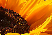Close up of sunflower.<br /> Close-up van zonnebloem.<br /> <br /> &copy; Meindert van Dijk<br /> Hires available!