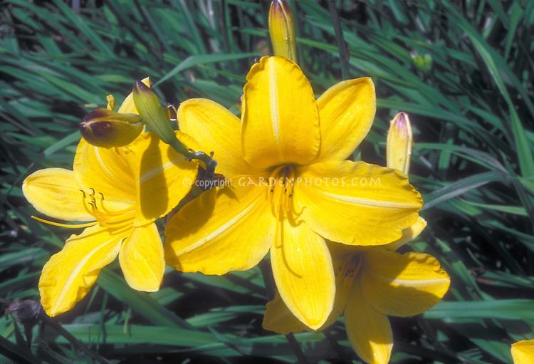 Daylily Cartwheels Hemerocallis in golden yellow orange flowers in summer