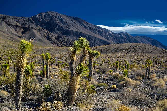 Joshua Trees line the road to Racetrack Playa at Death Valley National Park, California