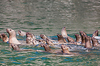 A group of steller sea lions swim in the waters of Prince William Sound, southcentral, Alaska.