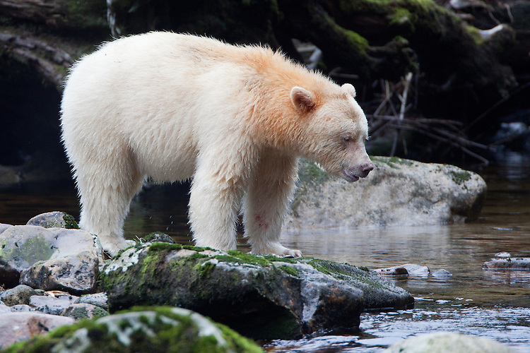 "Kermode ""Spirit"" Bear standing on a mossy rock and watching the river"
