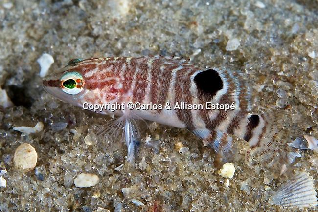 Serranus subligarius, Belted sandfish, juvenile, NE Gulf of Mexico