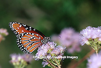 03537-00206 Queen (Danaus gilippus) on Greg's Mistflower (Eupatorium gregii), Hidalgo Co.  TX