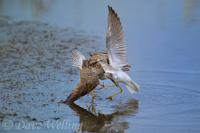 598250003 a pair of male lesser yellowlegs tringa flavipes engage in dominance display and fighting in a small pond on south padre island cameron county texas united states