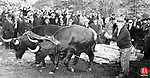 A team of oxen pulls a heavy load at the Bethlehem Fair, October 1936.