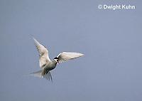 MC59-020z  Arctic Tern - flying above island - Machias Seal Island, Bay of Fundy - Sterna paradisaea