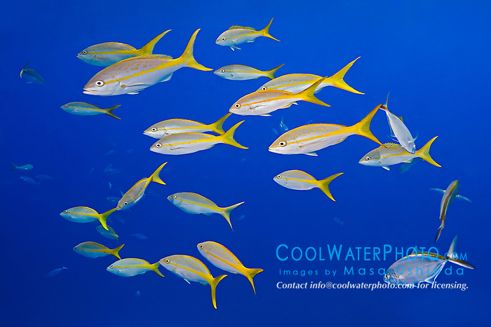 yellowtail snappers, Ocyurus chrysurus, West End, Grand Bahamas, Atlantic Ocean