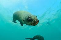 Arctocephalus pusillus, Suedafrikanicher Seebaer, South African fur seal, Plettenberg Bay, Suedafrika, Indischer Ocean, South Africa, Plettenberg Bay, Indian Ocean