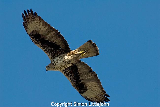 Adult Bonelli´s Eagle in flight-soaring, seen from below. Andalucia, Spain.