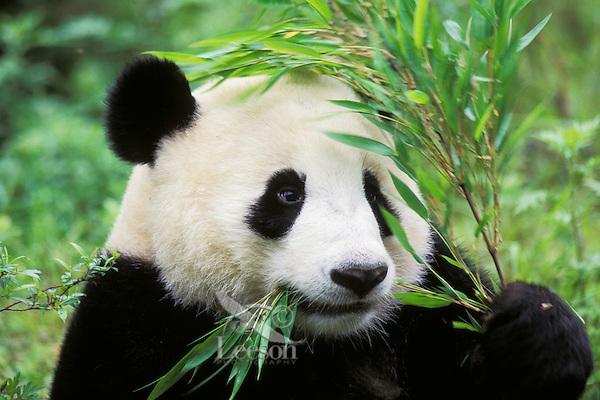 Giant Panda (Ailuropoda melanoleuca) eating bamboo.