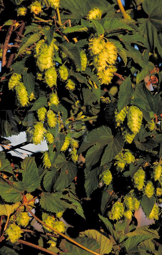 Greenish yellow hop blossoms, used as seasoning for beer brewing. . Yakima Washington United States A Hop Farm.