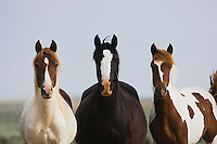 Mustang Horse (Equus caballus), herd, Pryor Mountain Wild Horse Range, Montana, USA