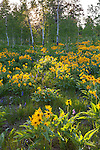 Grand Teton National Park, WY: Balsamroot (Balsamorhiza sagittata) blooming at the edge of an aspen grove