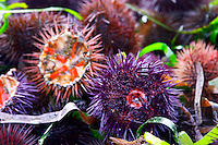 Street market merchant's stall with sea urchins oursin with sharp needles, some cut open showing the red and white meat corail that you can eat Sanary Var Cote d'Azur France