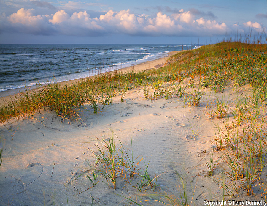 Cape Hatteras National Seashore, NC<br /> Morning light on beach grasses and barrier dunes of Hatteras Island on north Carolina's Outer Banks