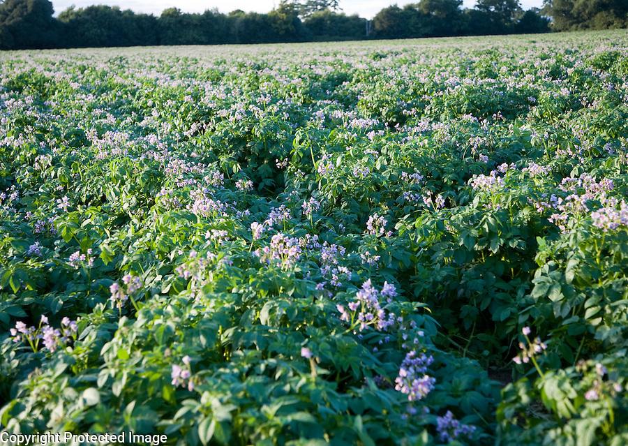Purple flowers potato crop growing field, Shottisham, Suffolk England