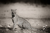Handsome male leopard at a waterhole in the Kgalagadi Transfrontier Park.