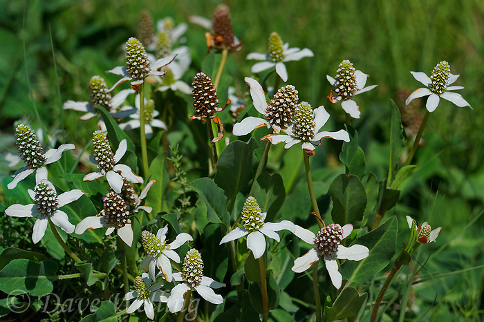 199600003 wild yerba mansa wildflowers anemopsis californica grow along a dirt road off mazurka road south of independence inyo county california