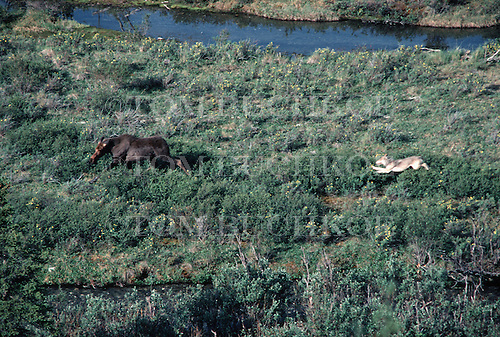 Wolf chasing a young cow Moose in Denali National Park in Alaska. This is from a sequence of five images.