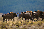 A herd of buffalo runs through the sagebrush after crossing the Yellowstone River, Yellowstone National Park, Wyoming, USA, September 27, 2007. Photo by Gus Curtis.