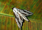 Hawk Moth, Family: Sphingidae, on rainforest leaf, Trinidad and Tobago.Trinidad....