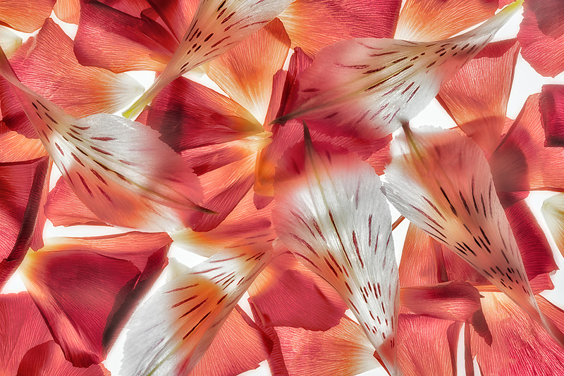 CLOSE UP OF Alstroemeria FLOWER PETALS. OREGON