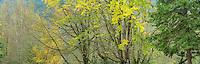 Sugar Maple, Birch and Douglas Fir in Autumn