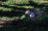 An eastern gray squirrel eats something it has found in the grass at the San Leandro Marina Park along San Francisco Bay.