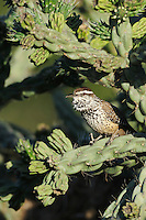 Cactus Wren (Campylorhynchus brunneicapillus), adult singing on Cane Cholla (Opuntia imbricata), Laredo, Webb County, South Texas, USA