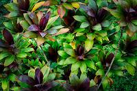 Ti Plant. Kauai, Hawaii