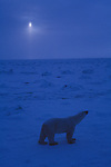 Polar bear walks on the snow in the moonlight.