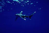 Oceanic whitetip shark, Carcharhinus longimanus